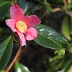 Camellia x williamsii C.F. Coates'