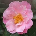Camellia x williamsii 'Marjorie Waldegrave' (2C-008)