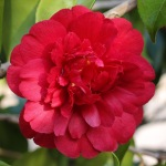 Camellia japonica 'Chandleri'