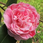 Camellia japonica 'Countess of Orkney'
