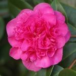 Camellia x williamsii 'Debbie's Carnation'