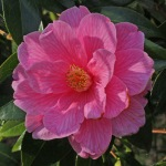 Camellia x williamsii 'Donation'