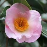 Camellia x williamsii 'Elizabeth de Rothschild'