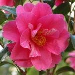 Camellia x williamsii 'Hilo'