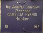 Camellia hybrid 'Hooker'