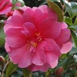 Camellia hybrid 'Inspiration'