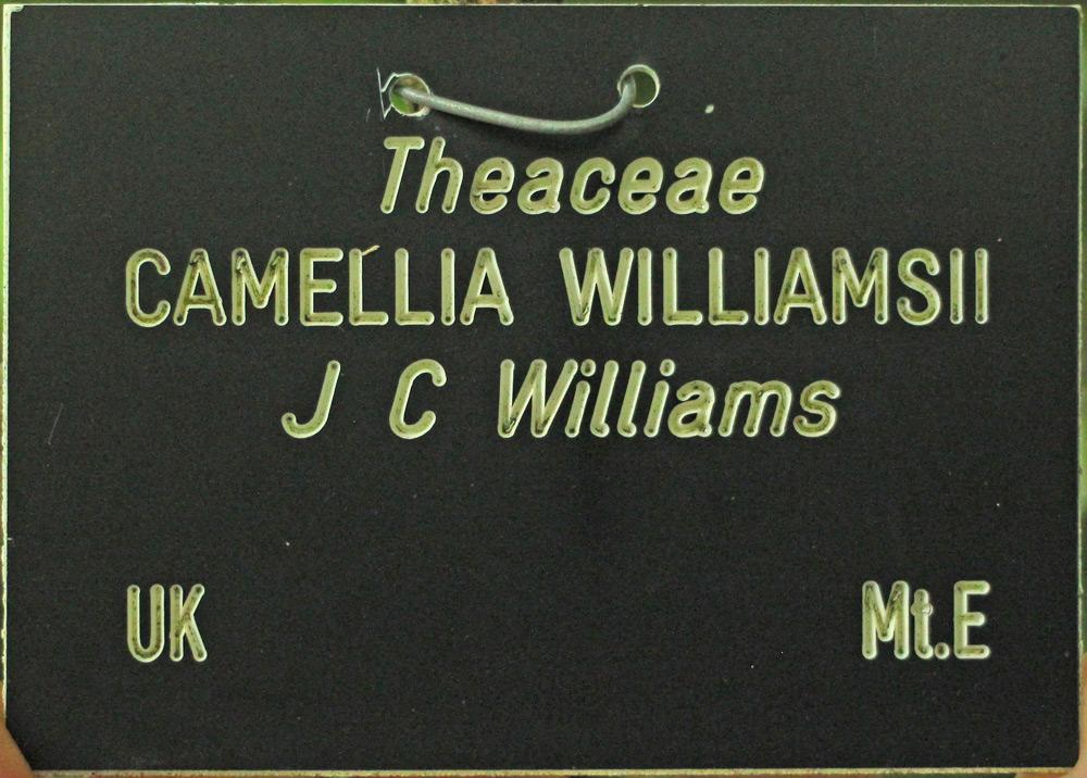 Camellia x williamsii 'J.C. Williams'