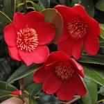 Camellia japonica 'Kimberley'