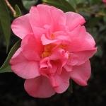 Camellia hybrid 'Leonard Messel'