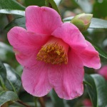 Camellia x williamsii 'Mary Christian'