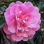 Camellia x williamsii 'Mildred Veitch'