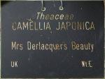 Camellia japonica 'Mrs Derlacquer's Beauty'