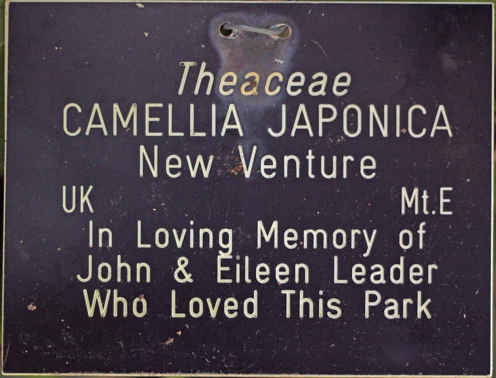 Camellia x williamsii 'New Venture'