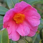 Camellia x williamsii 'November Pink'