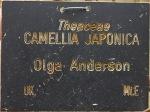 Camellia japonica 'Olga Anderson'