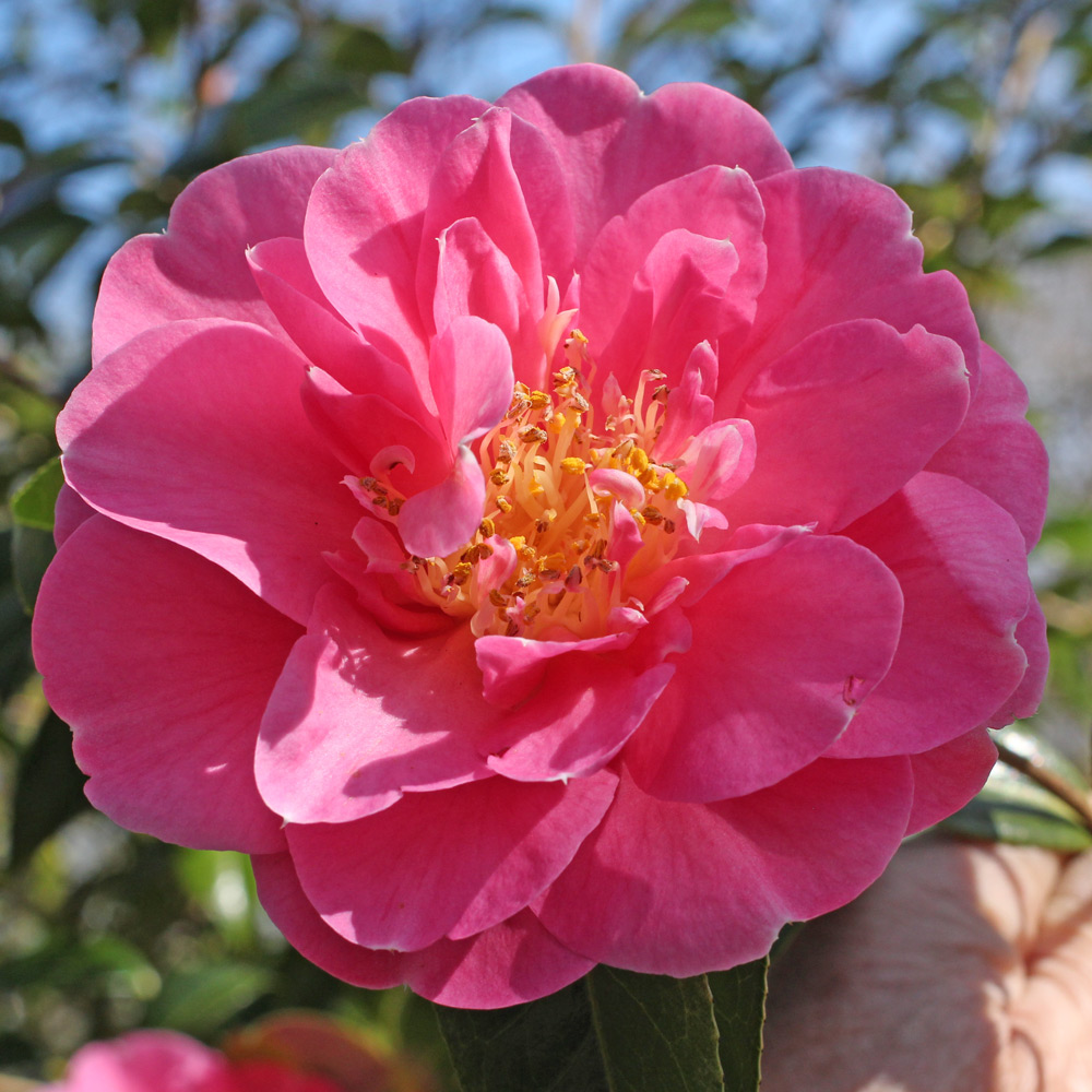 Camellia x williamsii 'Plymouth Beauty'