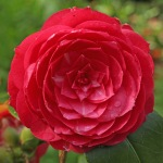 Camellia japonica 'Ruby Creek'