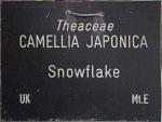 Camellia japonica 'Snowflake'