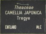 Camellia japonica 'Tregye'
