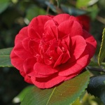 Camellia japonica 'Twiss Cornwall'