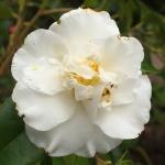 Camellia japonica 'White Swan'