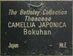 Camellia japonica 'Bokuhan'
