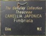 Camellia japonica 'Fimbriata'