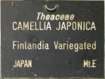 Camellia japonica 'Finlandia Variegated'