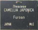 Camellia japonica 'Furô-an'