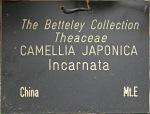 Camellia japonica 'Incarnata'