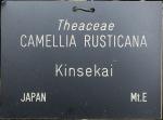 Camellia rusticana 'Kinsekai'