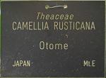 Camellia rusticana 'Otome'