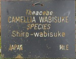 Camellia 'Shiro-wabisuke'