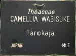 Camellia 'Tarokaja' (Wabisuke)
