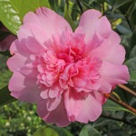 Camellia x williamsii 'Ballet Queen'