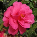Camellia x williamsii 'Charity'
