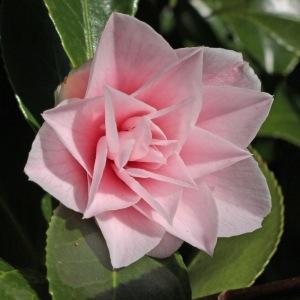 Camellia japonica 'Edith Linton'