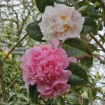 Camellia x williamsii 'Fair Jury'