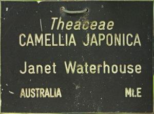 Camellia japonica 'Janet Waterhouse'