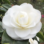 Camellia japonica 'Janet Waterhouse'