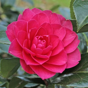 Camellia x williamsii 'Jean Claris'
