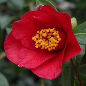 Camellia x williamsii 'Joyful Bells'