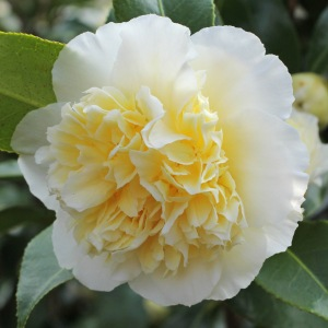 Camellia x williamsii 'Jury's Yellow'