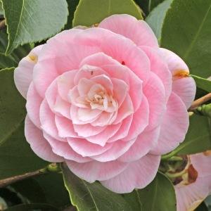 Camellia japonica 'Lady St. Clair'