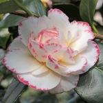 Camellia japonica 'Margaret Davis'