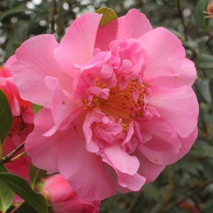 Camellia x williamsii 'Mary Phoebe Taylor'