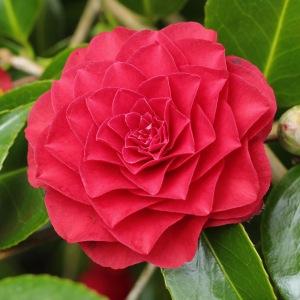 Camellia japonica 'Roger Hall'