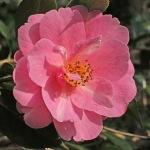 Camellia x williamsii 'Sayonara'