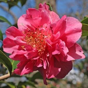 Camellia x williamsii 'Senorita'