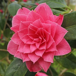 Camellia x williamsii 'Sun Song'